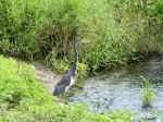 PEL-Arde Tricolored Heron (Egretta tricolor) Circle B by Lee 7-16-14 (14)