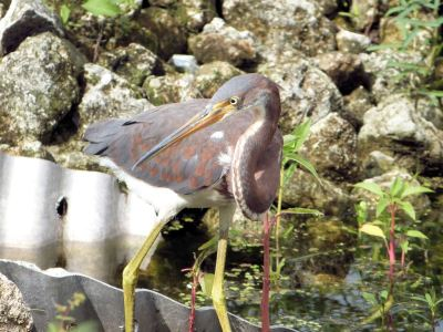 Tricolored Heron (Egretta tricolor) Juvenile Circle B by Lee