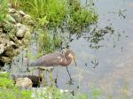 PEL-Arde Tricolored Heron (Egretta tricolor) Circle B by Lee 7-16-14 (8)