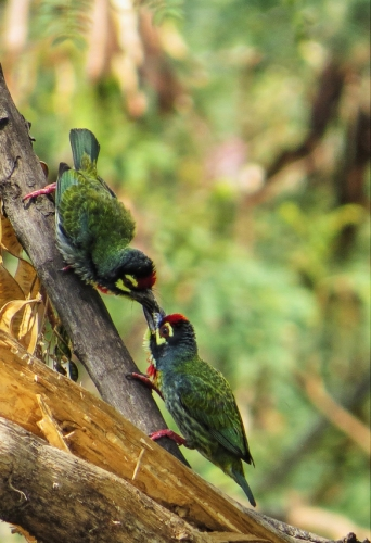 Coppersmith Barbet (Megalaima haemacephala) ©One Happy Birder