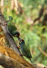 Coppersmith Barbet (Psilopogon haemacephala) ©One Happy Birder