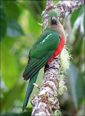 Australian King Parrot (Alisterus scapularis) Female WikiC