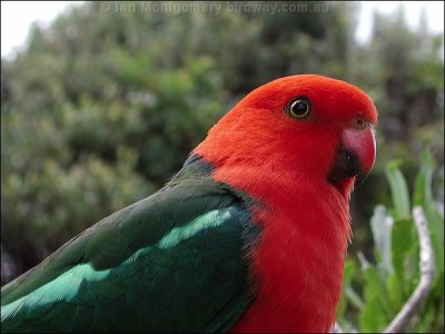 Australian King Parrot (Alisterus scapularis) Male Closeup by Ian