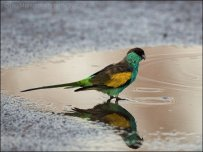 Hooded Parrot (Psephotus dissimilis) Male by Ian