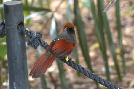 Red-tailed Laughingthrush  by Dan at Wings of Asia Zoo Miami