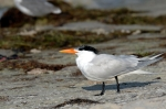 Royal or Caspian Tern by Dan MacDill Shore 2014 (11)