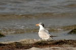 Royal Tern by Dan MacDill Shore 2014 (9)