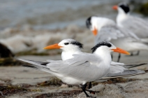 Royal Terns by Dan MacDill Shore 2014