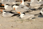 Royal Terns by Dan MacDill Shore 2014 (4)