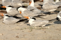 Royal Terns by Dan MacDill AFB Shore