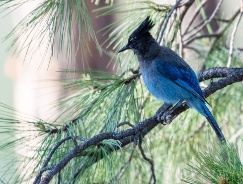 stellersjay-in-pine.pamelaparker-arizonahighways