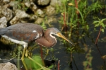 Tricolored Heron by Dan at Circle B (4)
