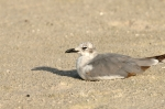 Unknown Gull by Dan MacDill Shore 2014 (2)