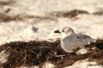 Unknown Gull by Dan MacDill Shore 2014 (4)