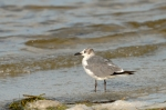 Unknown Gull by Dan MacDill Shore 2014 (5)
