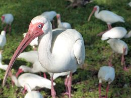 The Old Man and theIbises