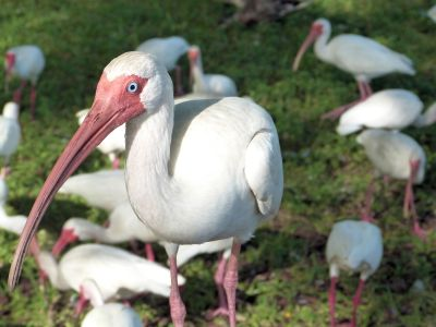 White Ibis on Table by Lee