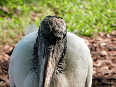 Wood Stork close-up by Lee at Lake Morton