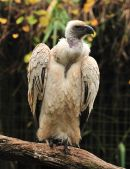 Cape Vulture (Gyps coprotheres) Alligator_Farm,_St._Augustine,_Florida WikiC