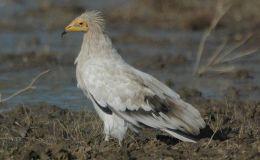 Bible Bird – Gier Eagle (EgyptianVulture)