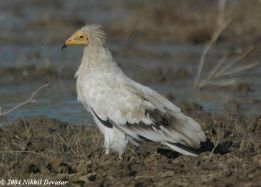 Egyptian Vulture (Neophron percnopterus) by Nikhil Devasar