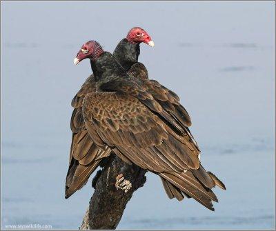 Turkey Vulture (Cathartes aura) by Ray