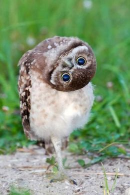 Tickle Me Tuesday – Burrowing Owls