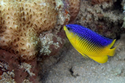 Cocoa Damselfish ©Flickr KevinBryant