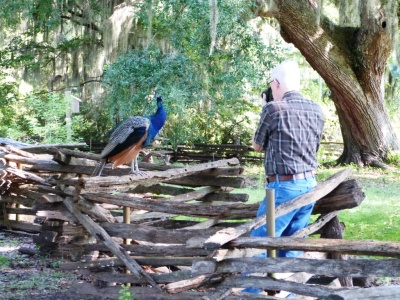 Dan photographing one of the Peacocks