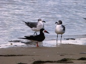 Laughing Gull and Skimmer by Lee