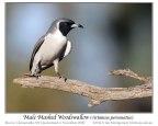 Masked Woodswallow (Artamus personatus) by Ian
