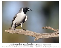Ian's Bird of the Week – Masked Woodswallow