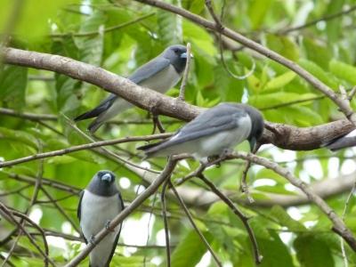 White-breasted Woodswallow (Artamus leucorynchus amydrus) by Lee ZM