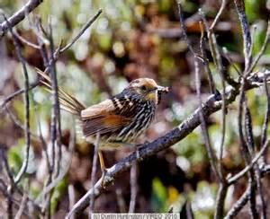 Duida Woodcreeper (Lepidocolaptes duidae) ©Taenos