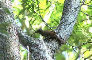 Layard's Woodcreeper (Lepidocolaptes layardi) ©Taenos