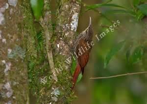 Lineated Woodcreeper (Lepidocolaptes albolineatus) ©Taenos
