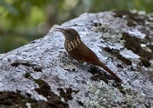 Rondonia Woodcreeper (Lepidocolaptes fuscicapillus) ©Taenos