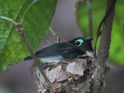 Black-necked Wattle-eye (Platysteira chalybea) ©TimBoucher