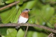 Chestnut Wattle-eye (Platysteira castanea) ©ArthurGrosset