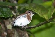 Chestnut Wattle-eye (Platysteira castanea) Immature ©ArthurGrosset