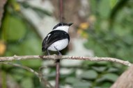 Chestnut Wattle-eye (Platysteira castanea) Male ©ArthurGrosset