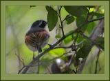 Forest Batis (Batis mixta) ©©Bing