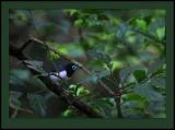 Jameson's Wattle-eye (Platysteira jamesoni) ©©Bing