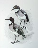 White-tailed Shrike (Lanioturdus torquatus) ©Drawing WikiC