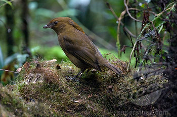 Macgregor's Bowerbird (Amblyornis macgregoriae) ©Bing SuperStock