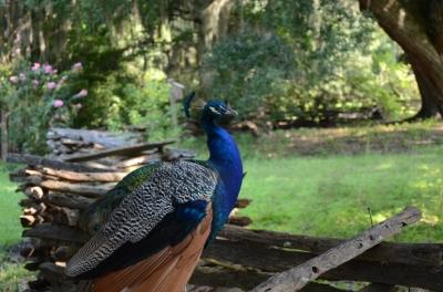 Peacock at Magnolia Plantation by Dan