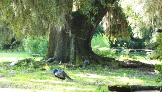 Peacocks at entrance to Magnolia Plantation