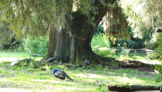 Peacocks at entrance to Magnolia Plantation
