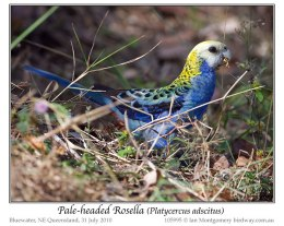 Ian's Bird of the Week – Pale-headed Rosella