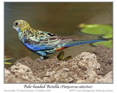 Pale-headed Rosella (Platycercus adscitus) by Ian
